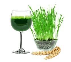 Ростки пшеницы — считаются продуктом плодовитости